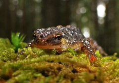Newt..x (Lisa@Lethen) Tags: newt triturus vulgaris smooth droplets nature macro water rain moss wildlife