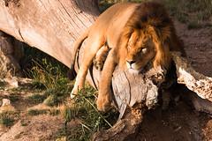 Zoo Pairi Daiza (quinquinval) Tags: zoo lion pairidaiza félin