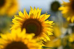 Un grand soleil d'été (Excalibur67) Tags: nikon d750 sigma 70200f28apoexdgoshsm flowers fleurs tournesol sunflower 28 nature campagne jaune yellow