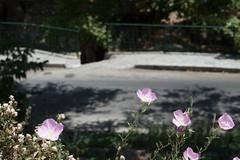 Ψίνθος (Psinthos.Net) Tags: ψίνθοσ psinthos summer καλοκαίρι ιούλιοσ july ουρανόσ γαλάζιοσουρανόσ sky bluesky light shadow φώσ σκιά vrisi vrisipsinthos vrisiarea περιοχήβρύση βρύσηψίνθοσ βρύσηψίνθου leaves φύλλα δρόμοσ πεζοδρόμιο sidewalk road pavement πλακόστρωτο ρόζλουλούδι ρόζλουλούδια ρόζάνθη λουλούδια άνθη blossoms flowers pinkblossoms pinkflowers pollen γύρη πλάτανοσ πλατάνοι πλατάνια πλάτανοι planetrees planetree