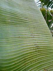 Banana: Boron (B) deficiency (mild, incipient) (Scot Nelson) Tags: boron deficiency banana musa