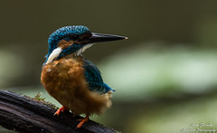 POSER(Alcedo atthis) Wildlife,Wümmeniederung-Bremen. ©Arne Flemke (Cristoforo Colombo) Tags: eisvogel kingfisher bremen blockland wümme wümmewiesen