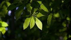 Sweet chestnut (is.hollmann) Tags: marone sweetchestnut outdoor baum blätter leaves light