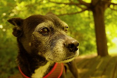 Mazie, at work. 17 (X70) (Mega-Magpie) Tags: fuji fujifilm x70 outdoors nature cute puppy dog mazie dupage il illinois usa america