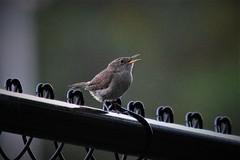 Wren song (marensr) Tags: fence link chain bird preserve nature ridge west platensis cistothorus wren sedge
