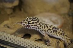 20170717X1846_Leopardgecko_0005 (RascheBilder) Tags: leopardgecko raschebilder