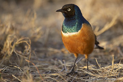 Superb starling (Nicholas Ferrary) Tags: nicholasferrary nature nikon nikond800e nikon200400mmvr nikond810 d800e d810 200400mm vr2 nikon200400vr2 birds birdlife animals africanwildlife africa serengeti serengetinationalpark tanzania