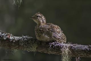 Spruce Grouse | Tétras du Canada