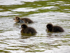 Over here (stuartcroy) Tags: orkney duckling ducks diving water young