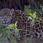 Jaguar - The Stare, oh the Stare... thumbnail
