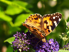 Painted Lady (mark.griffin52) Tags: olympusem5 england buckinghamshire cheddington garden flower buddleiaadonisblue wildlife nature insect paintedlady butterfly