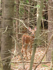 Fawn In The Woods (amyboemig) Tags: white tail fawn woods baby spotted whitetailed whitetail summer july
