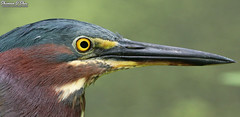 There's more here than meets the eye (Shannon Rose O'Shea) Tags: shannonroseoshea shannonosheawildlifephotography shannonoshea shannon greenheron heron bird beak bill yelloweye colorful nature wildlife waterfowl wildwoodlake harrisburg pennsylvania outdoors outdoor flickr wwwflickrcomphotosshannonroseoshea butoridesvirescens profile closeup close green feathers detail details fauna canon canoneos80d canon80d eos80d 80d canon100400mm14556lisiiusm art wild wildlifephotography photo photography