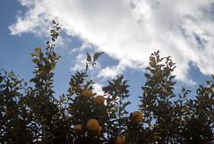 L1016449c (haru__q) Tags: leica m8 leicam8 leitz elmar mandarin orange みかん