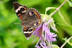 common buckeye (laurie_frisch) Tags: common buckeye butterfly bug insect squawcreek park marion iowa nature beebalm