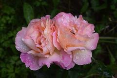 Rainy Roses & Hoverfly (Bebopgirl1969) Tags: rose raindrops flower garden
