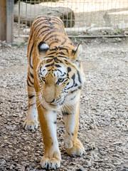 Maman tigre se rapproche (Zéphyrios) Tags: besançon doubs franchecomté nikon d7000 citadelle musée muséum jardinzoologique zoo animal tigre sibérie tigredelamour panthera tigris