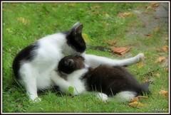 Tendre moment (Les photos de LN) Tags: kitten chat chatte chaton pet félin animaldomestique animaldecompagnie tétée tendre