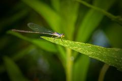 Damselfly (heeeerod) Tags: damselfly dragonfly fly insect bug pondhawk predator sb700 speedlite speedlight strobe nikon nikkor 105mm macro micro raw