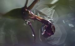 a wet end (pete ware) Tags: lobelia flower wet water doplet macro nikond40 peteware afnikkor50mmf18d extensiontubes
