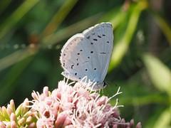 Bläuling (michaelmueller410) Tags: rote liste rare schmetterling enzian blau bläuling selten endangered gefährdet butterfly blu red list moor swamp