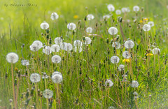 Lollipop land (m3dborg) Tags: dandelions maskrosor flower flowers nature outdoor outdoors natural grass bokeh sony a99ii tamron 90mm macro f 28