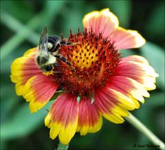 Relishing Nature (John Neziol) Tags: jrneziolphotography beeonechinacea nikon nikoncamera nikondslr nikond80 nature outdoor odd bokeh bee brantford beautiful animal closeup macro echinacea bright garden wildlife wings portrait pollen