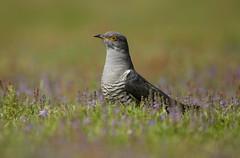 Cuckoo in Pastel (Markp33) Tags: