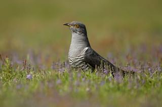 Cuckoo in Pastel