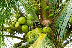 The richness of a coconut tree, Lavinia-SP, Brazil (ssspnnn) Tags: cocosnucifera coco palodecoco nidos nest fruta fruit coqueiro coconuttree coconut panasonic lumixfz150 spnunes nunes snunes spereiranunes laviniasp sitioxvdenovembro