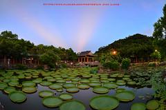 DSC_2204 (Lin.Jian Liang) Tags: 台灣 taiwan 台北 士林 大王蓮 霞光 雙溪公園 nikon 魚眼 fisheye 星芒 105mm 季節限定 d610