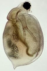 Ceriodaphnia (mr.sansibar) Tags: ceriodaphnia plankton focusstacking olympusbh2 zooplankton cladocera crustacea photomicrography microscopy heliconfocus polarizedlight waterflea