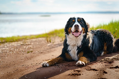 A dog content (rmikulec) Tags: pooch dog puppy berner bernese mountain sand beach sunset enjoying relaxation