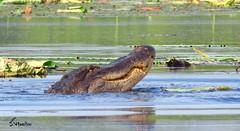 I'm Gonna Need a BIgger Boat! (Suzanham) Tags: reptile alligator gator reptilian animal fishing swamp wetlands marsh southern americanalligator hunting predator mississippi noxubeewildliferefuge canonpowershotsx60hs