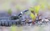 Natrix n. hevetica (Andreas Lesch) Tags: natrix helvetica ringelnatter barrenringelnatter schlange reptil tiere wildlife wildlifefotografie wildlifephotography naturfotografie makro makrofotografie macro schuppen snake reptiles grass grasssnake canon