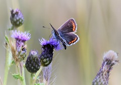 Shades of Purple and Blue. (pstone646) Tags: butterfly blue fauna insect plant flora flower thistle nature animal wildlife kent bokeh closeup feeding