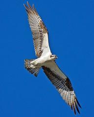 Osprey (richmondbrian) Tags: osprey