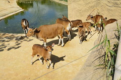 Chester Zoo Islands (161) (rs1979) Tags: chesterzoo zoo chester islands banteng