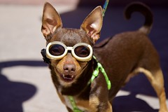 Chihuahua with Goggles (grendel7469) Tags: chihuahua dog cutedog goggles puppy