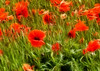 Wind Blown Poppies (robin denton) Tags: poppyfield poppies poppy wildflowers flowersinthewild flowers nature fractalius redfield snapemaltings suffolk