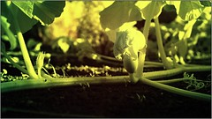 Humanoid Vegetable Marrow IR #1/2 (ntemptm) Tags: blow infrared ir infraredphoto vegetable marrow fragile fresh leaves green slovakia yellow beauty nopeople nice abstract garden paradox outroor nature disturbing weird flower trenčín