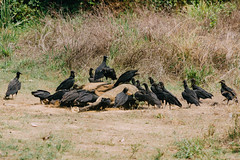 Wake of Vultures Feeding on Horse Carcass, Colombia (AdamCohn) Tags: adamcohn colombia birds carcass carrion deadhorse geo:lat=7989714 geo:lon=73506204 geotagged horse mummified roadkill roadside rotten rotting scavengers scavenging vulturewake vultures wake wwwadamcohncom sanmartin cesar