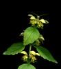 58335.03 Lamium galeobdolon (horticultural art) Tags: horticulturalart lamiumgaleobdolon lamium lamiumvine botanical flowers leaves