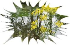 ragwort by the river: Smile on Saturday: wild flowers (quietpurplehaze07) Tags: ragwort smileonsaturday yellow rivertest mottisfontabbey wildflowers