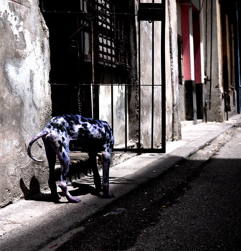 Canis lupus familiaris: Black, White, Blue, Pink