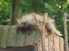 Mal so richtig abhängen (1elf12) Tags: porcupine baumstachler magdeburg zoo tierpark germany deutschland animal tier smileonsaturday beautyofthebeast