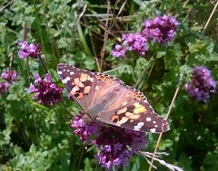 Painted Lady and her delicate pinkish buff marbled upperwings (Jo. Jo.) Tags: painted lady butterfly summer migraint cambridgeshire countryside nature reserve country park pinkish buff marbled upperwings green purple wildflowers meadows coast paintedlady photosfromnaturereserves