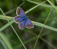 Common Blue (Keith (foggybummer)) Tags: butterfly commomblue stcyrusnnr coastal grassland sanddunes