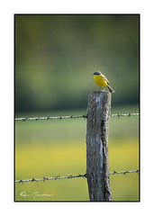 Au piquet (Rémi Marchand) Tags: bergeronnette printanière faune nature canon 5d mark iii oiseau