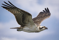 Blythe Ferry Osprey 11 (Jason Blalock) Tags: osprey pandionhaliaetus fisheagle seahawk riverhak fishhawk bird birdofprey raptor avian